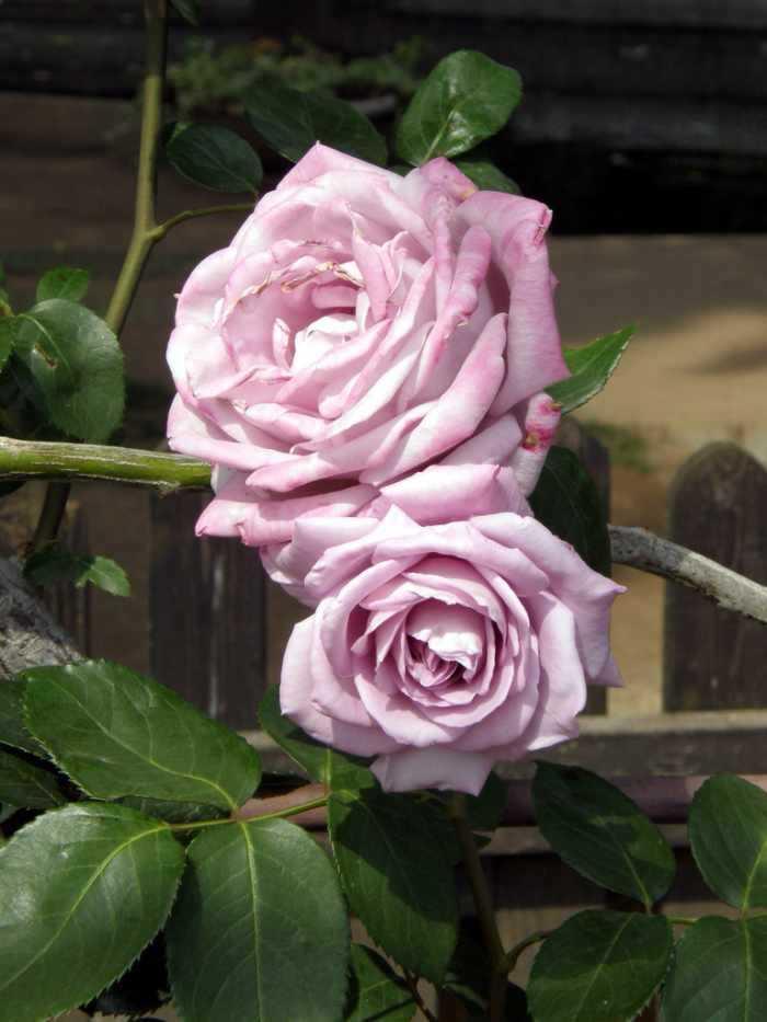 rosales de tallo sin espinas