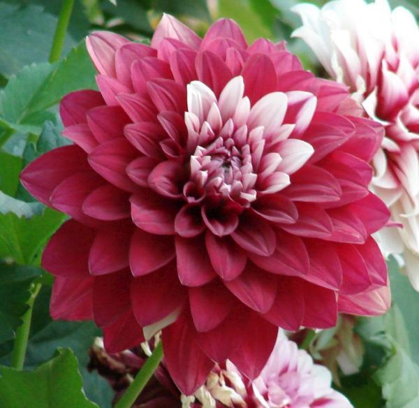 cultivo-dalia-dhalia-3