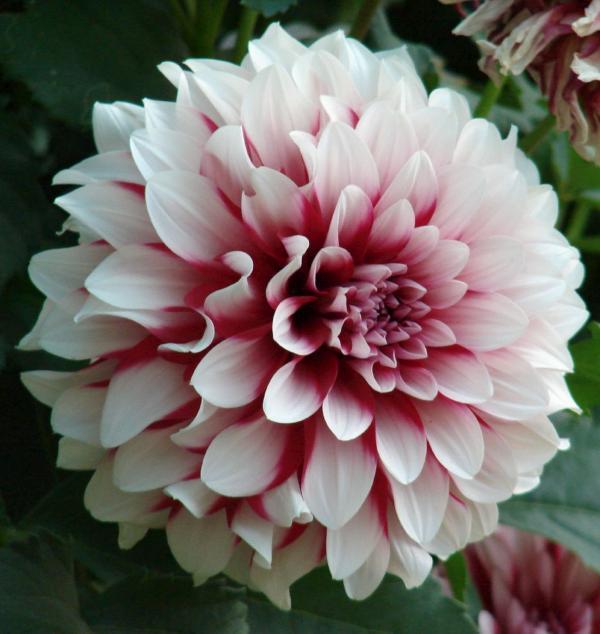 cultivo-dalia-dhalia-6