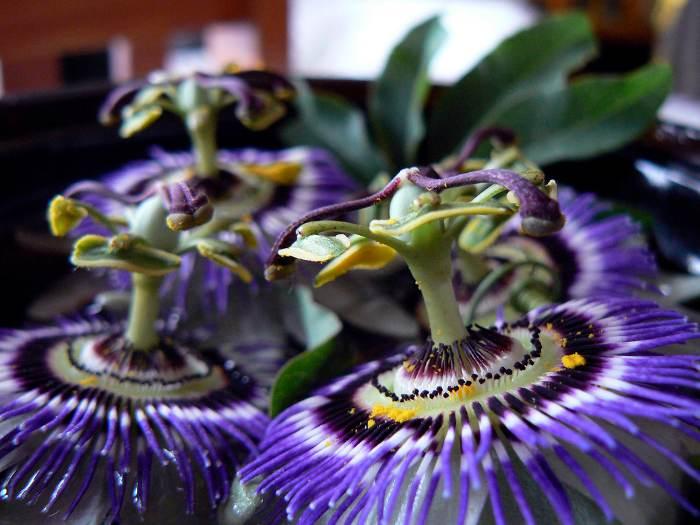 pasionaria-flor-de-la-pasion-7